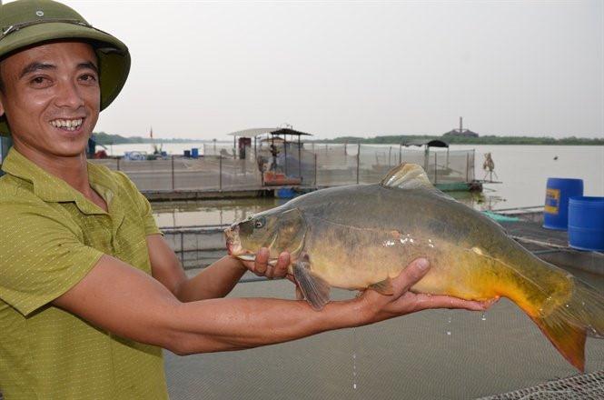 Ly kỳ nuôi 'cá chép ma' không vảy trên sông, thịt giòn như tràng lợn
