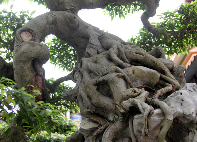 cây cảnh,chơi cây,cây cảnh tiền tỷ
