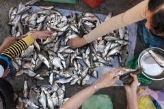 Chuyện lạ Vĩnh Long: Chen chân mua cá 'trời cho' lấm lem bùn đất