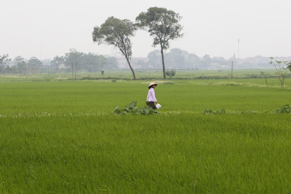 The beauty of rice paddy fields in Hanoi's outskirts
