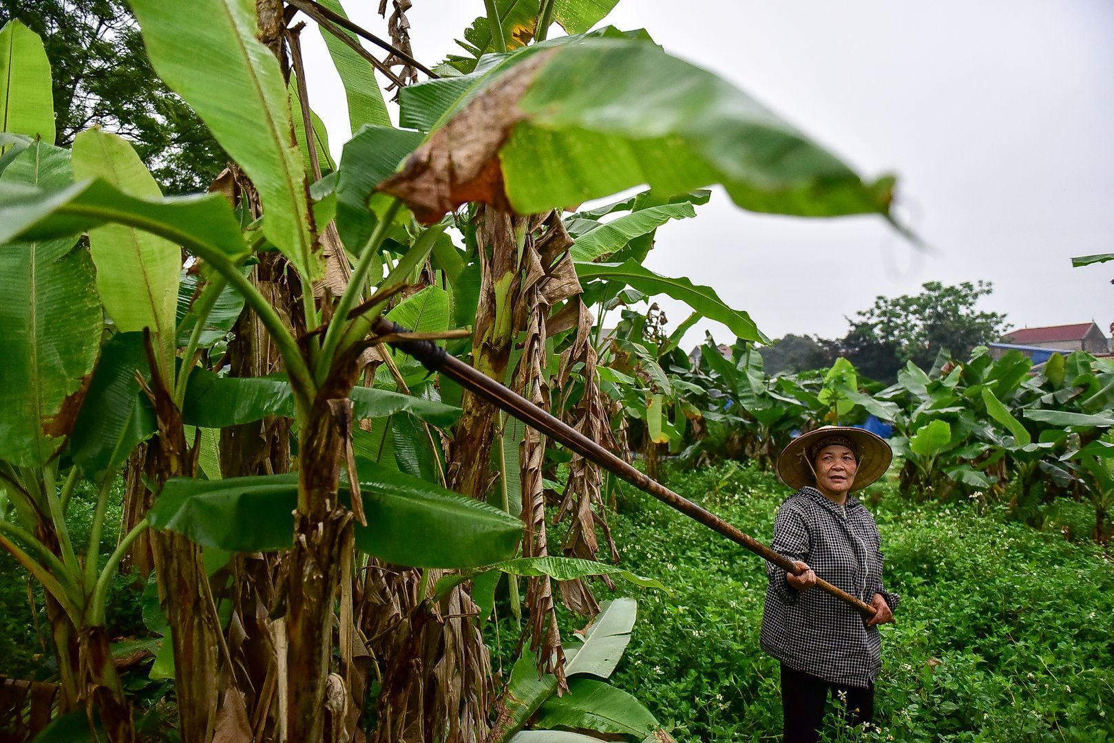 Gặp người phụ nữ hơn 35 năm hái lá chuối mưu sinh