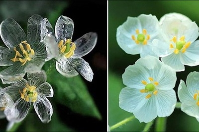 Bí ẩn những bông 'hoa xương' biến hình tại Nhật