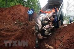 African swine fever wreaks havoc in Ha Nam Province