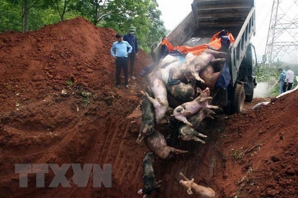 African swine fever wreaks havoc in Ha Nam Province