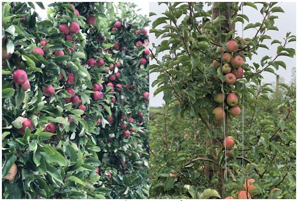 Bách hóa Xanh tự tin bán trái cây nhập khẩu rẻ hơn chợ