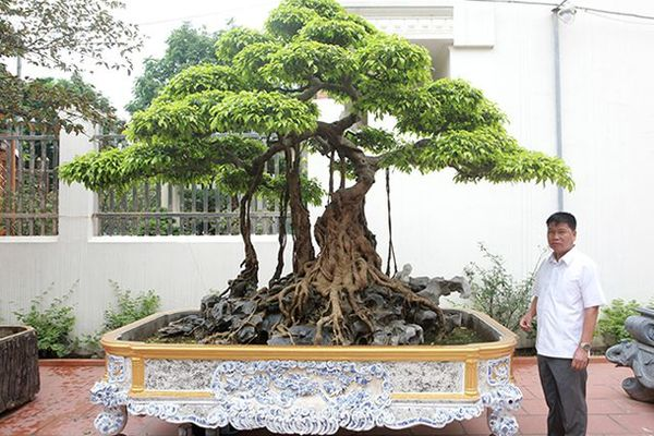 Sanh cổ vua Bảo Đại: Cây cổ truyền đời, giá trên 30 tỷ
