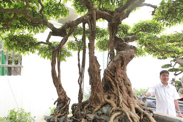 cây cảnh,cây sanh,sanh cổ