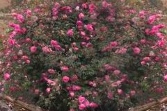 Cây hoa hồng khổng lồ trên đỉnh núi: Nở ngàn bông, 150 triệu không bán