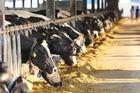 Việt Nam thực sự có bao nhiêu bò, cho bao nhiêu sữa?