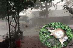 Mưa đá kèm lốc xoáy 'vật' chết gia súc, hơn 50 nhà bay mất mái