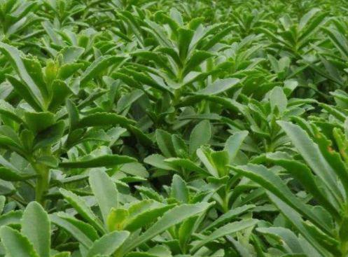'Cỏ cứu mạng': Loại rau dại có giá hơn 1 triệu/kg có gì đặc biệt? Rau-canh-2