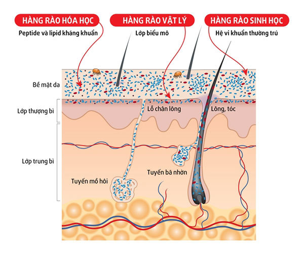 Bí ẩn hoạt động của 'bộ máy' đề kháng da