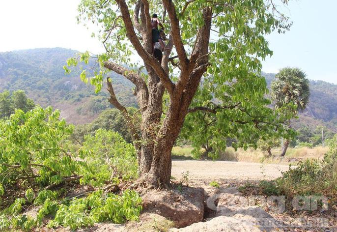 cây trâm,cây cổ thụ