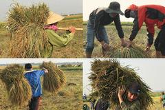 Xúc động thầy trò Quảng Trị gặt 1 mẫu lúa đổ giúp bạn
