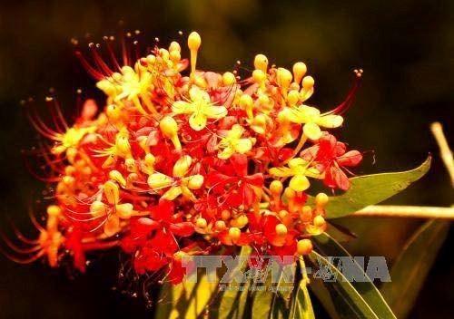 Ashoca flower in full bloom in Phong Nha Ke Bang
