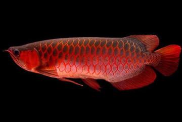 Bí ẩn loài cá đỏ như máu, đổi ngang 1 chiếc ô tô Camry