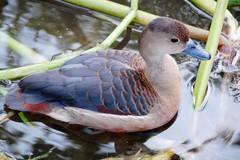 Nuôi loài chim nhìn như vịt nhưng 'đại bổ', có giá nửa triệu/con