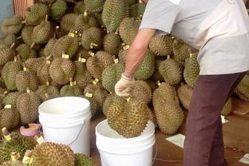 Mẹo phân biệt sầu riêng chín cây với sầu riêng nhúng thuốc