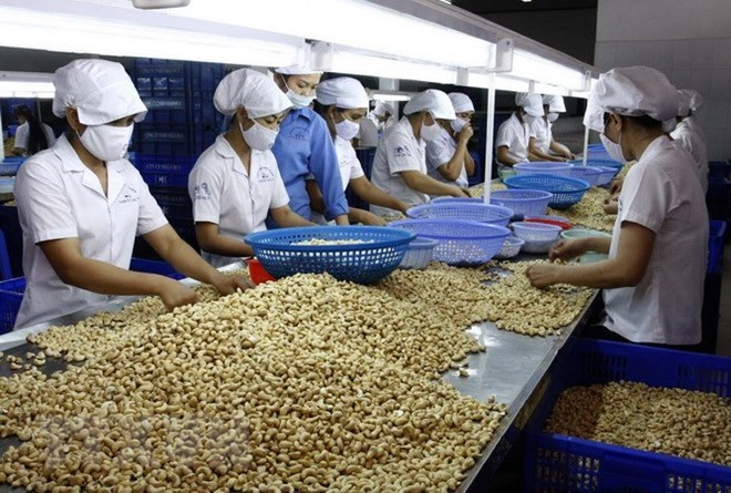 VN cashew processors face difficulties with raw material imports