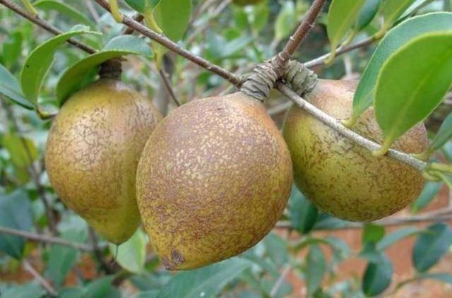 Loại cây có đầy ở Việt Nam, sang Trung Quốc được bán giá gần gấp 50 lần