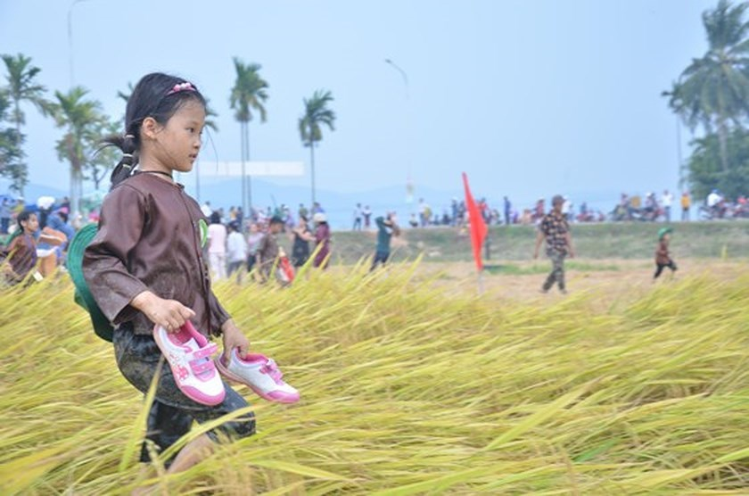Hundreds of little farmers harvest rice in Quang Ngai province