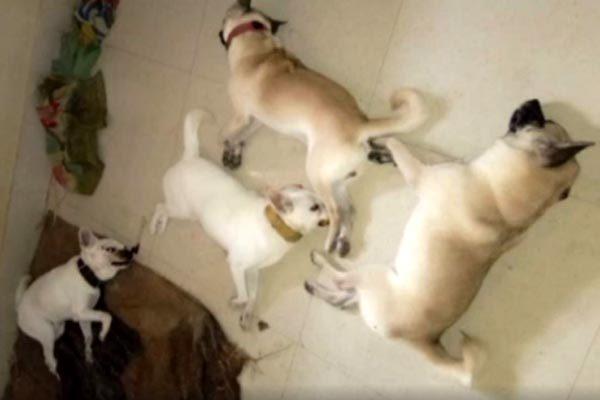 Bầy chó nhà lăn xả tấn công hổ mang chúa cứu chủ