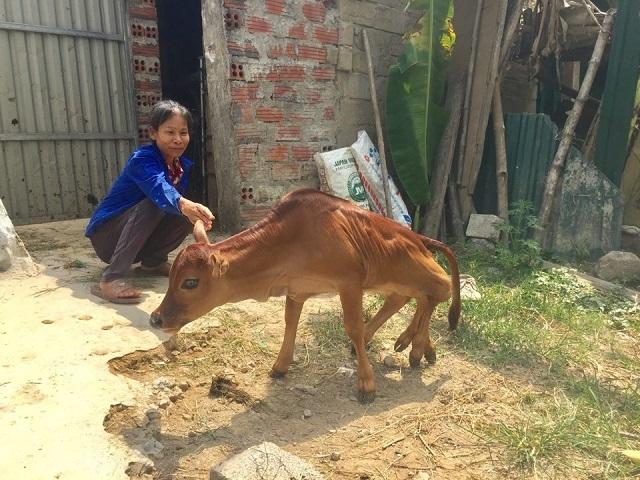 Dân làng sửng sốt kéo đến xem 'quái bê' 6 chân mới ra đời ở Hà Tĩnh