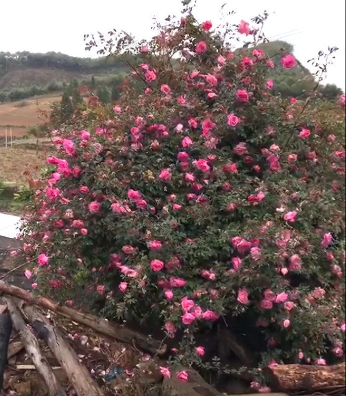 Hiếm Việt Nam: Lên biên giới ngắm cây hoa hồng nở ngàn bông rực rỡ