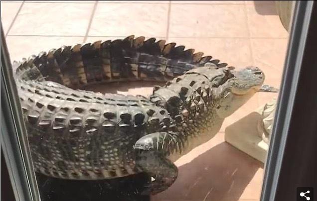 Tái mặt nhìn cá sấu khủng gõ cửa đòi vào nhà