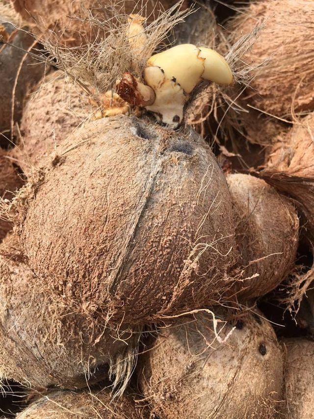 Kỳ lạ 'mầm dừa' miền Tây đi 'chuyên cơ', chị em Hà Thành tranh nhau mua