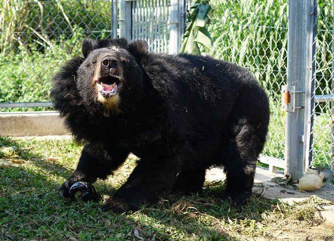 Bear conservation centre in Ninh Binh saves bile bears