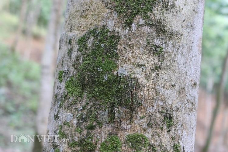 Khu vườn sưa đỏ hàng chục tỷ đồng: Kho báu có 1 không 2 ở Lào Cai