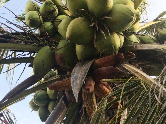 Lạ Ninh Thuận: Dừa bất ngờ ra trái có hình dáng giống bắp ngô