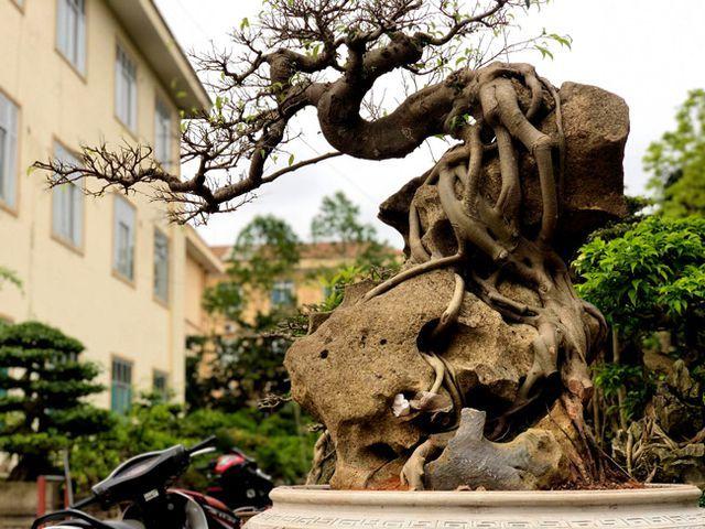 Lấy cây sanh 'cùi' ký vào phiến đá khá khù khoằm, 20 năm sau ra giá nửa tỷ