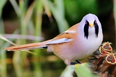 Australia là quốc gia có nhiều chim nhất thế giới