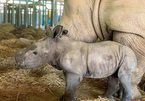 Two rhinos born in Phu Quoc