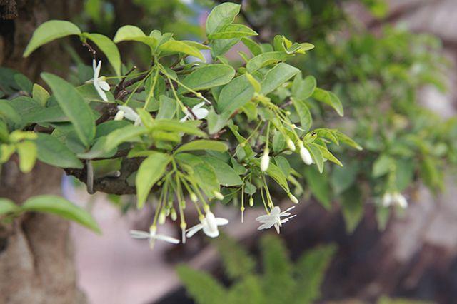 Bỏ 1 tỷ mua 6 cây mai chiếu thủy nở hoa trắng trên khúc gỗ đen sì