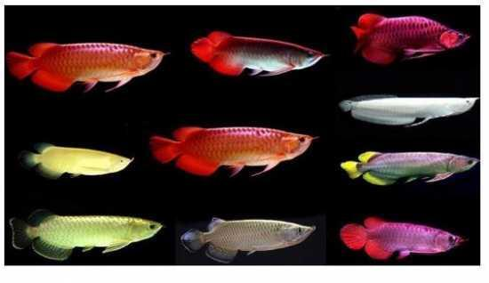 Loài cá phổ biến ở châu Á có giá đắt hơn cả siêu xe Lamborghini