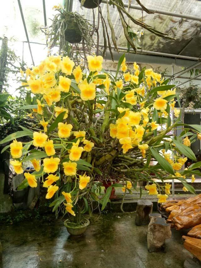 trồng hoa lan,lan quý,hoa lan