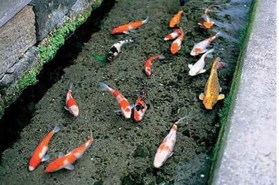 Du khách tròn mắt ngạc nhiên khi thấy cá koi tung tăng bơi lội trong cống
