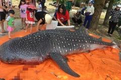 Thực hư ngư dân Thanh Hóa giết mổ cá voi nhám quý hiếm