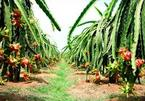 Farmers in 'dragon fruit capital' deal with drought