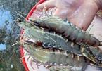 Farmers prefer merchants to shrimp trading floor