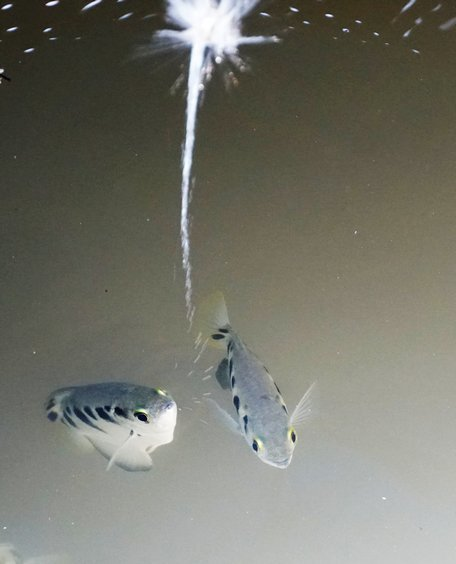 Kỳ lạ loài cá phun nước săn mồi 'bách phát bách trúng'