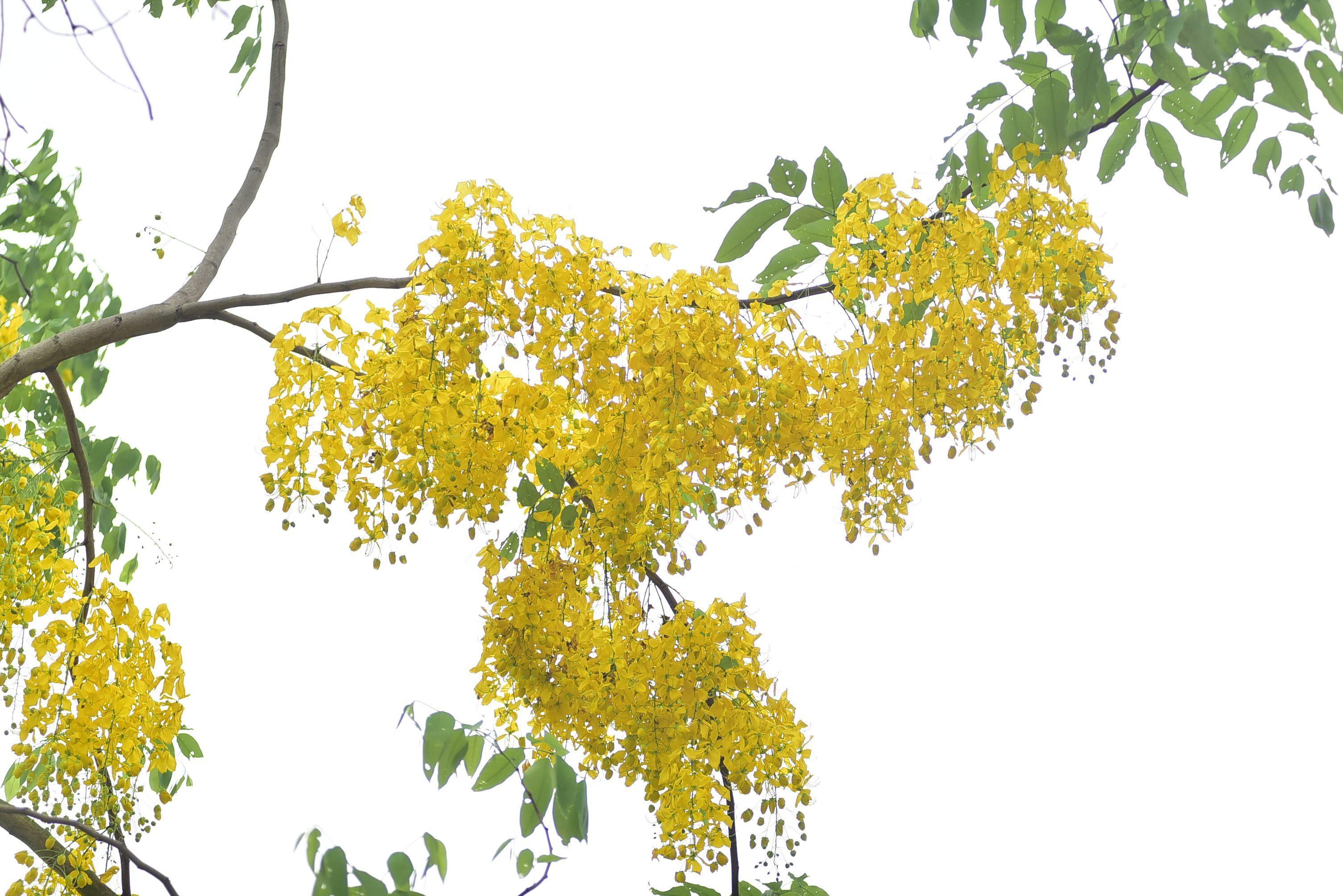 Mùa muồng hoàng yến vàng rực một góc trời Hà Nội