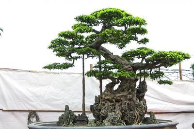 Siêu cây 'độc long kim cương' triệu đô của đại gia Hưng Yên