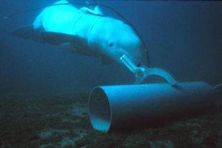 Lý do Hải quân Mỹ luyện cá heo, hải cẩu làm 'quân nhân biển'