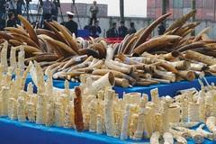 Xử phạt nặng với hành vi buôn bán ngà voi