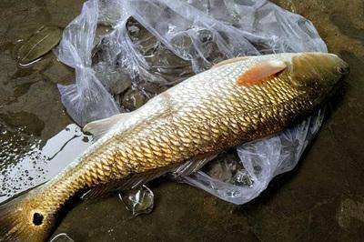 Câu được cá nghi là sủ vàng quý hiếm nặng 3kg