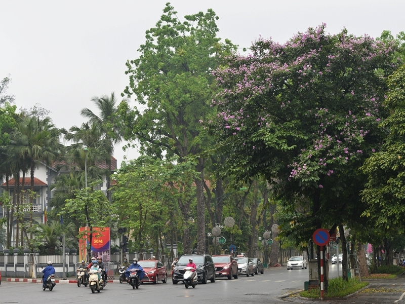 Hanoi streets bright with purple crape-myrtle flowers